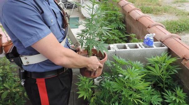 Le piante di marijuana sequestrate a Castelnovetto