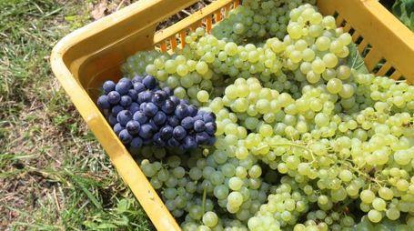 Azienda Faccoli vendemmia primo grappolo raccolto in Italia  ,Coccaglio 11 agosto 2014 ,  Ph Fotolive Filippo Venezia