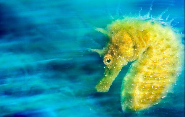 L'ippocampo dorato