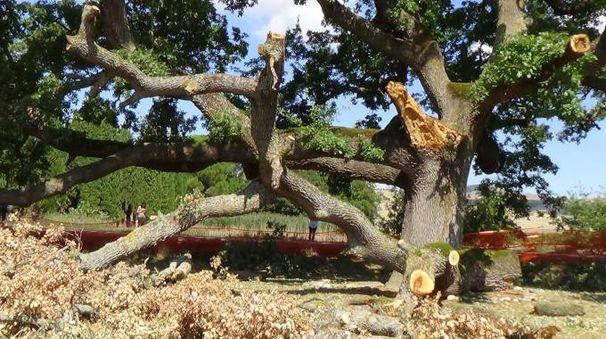 La quercia come si presenta dopo il taglio
