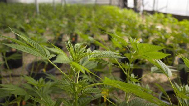 Cannabis (Ansa)