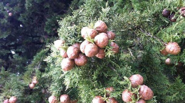 La fioritura del cipresso è causa allergie. In Umbria il periodo a rischio va da fine gennaio a fine  marzo