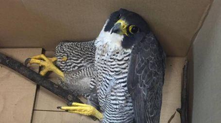 Il falco salvato dalle forze dell'ordine