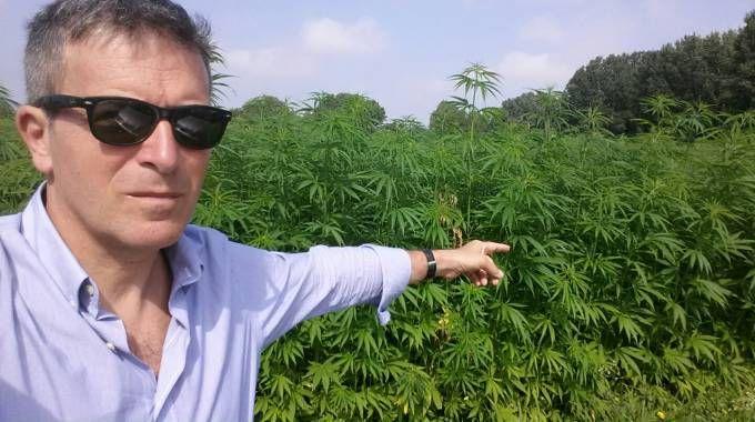"""Allarme marijuana nei campi"": ma sono ettari di canapa tessile"