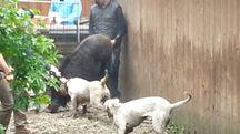 Combattimenti tra cinghiali e cani, maxi operazione della Forestale: 10 persone a processo