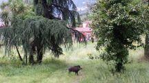 Un cinghiale a maggio nel parco di Villa Massoni, a Massa