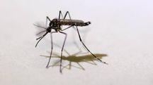 Una zanzara che diffonde il virus Zika (Ansa)