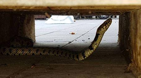un serpente