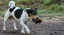 Un'immagine di repertorio di cane di razza Jack russel (foto L.Gallitto)