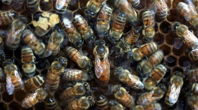 Uno sciame di api (Foto d'archivio Ravaglia)