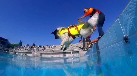 Dimostrazione dei cani bagnini alla piscina comunale di Empoli