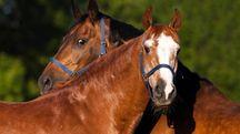 I cavalli possono imparare a usare simboli per esprimersi - foto ImageBROKER / Alamy