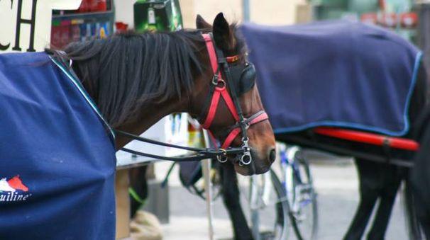 Cavalli delle botticelle romane (Foto L.Gallitto)
