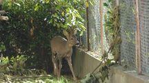 Il capriolo nel giardino (foto Frasca)