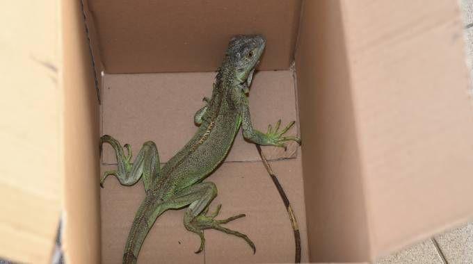 L'iguana recuperata (Vives)