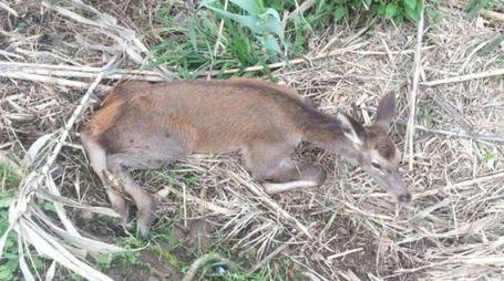 Il cucciolo di cervo ferito
