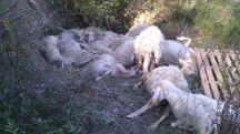 Alcune delle pecore sbranate dai lupi