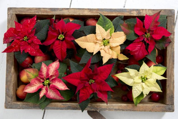Come Mantenere La Stella Di Natale In Casa.Come Curare Stella Di Natale Good Istruzioni Stelle Di Natale