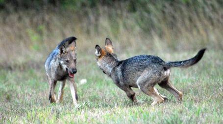 Giovani lupi
