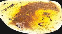 La code di un dinosauro in un frammento d'ambra (Afp)