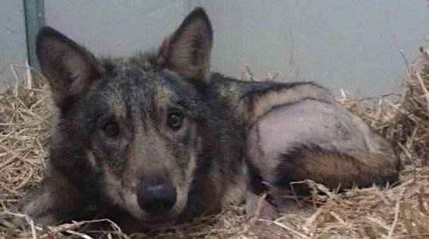 Il lupo Connor è solo l'ultimo di una linga serie di animali selvatici investiti in via Idice