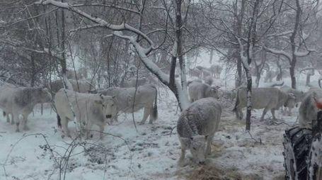 Bestiame sotto la neve nelle zone terremotate