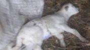 Una pecora uccisa dal freddo