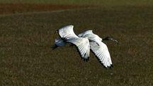 La coppia di ibis in una foto di Giuliano Gardenghi