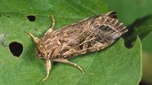 Un esemplare di Spodoptera littoralis (Foto: Nigel Cattlin / Alamy)