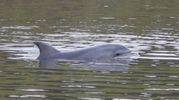 Il delfino che ha scelto l'Arno come casa (Foto Valtriani)