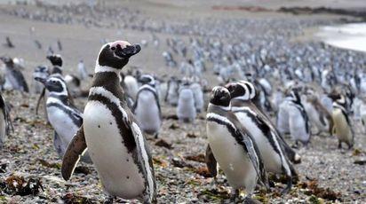 Punta Tombo, oltre un milione di pinguini