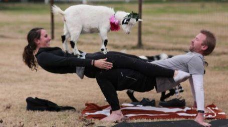 Il goat yoga, lo yoga con le caprette è l'ultima tendenza (da sito www.azgoatyoga.com)