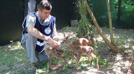 Un dipendente del Cras con dei cerbiatti