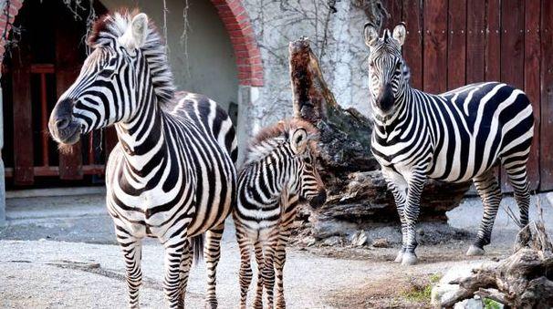 Risultati immagini per zebra cris