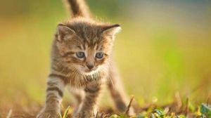 Il gatto e portatore di toxoplasmosi, che porta disturbi mentali -foto blickwinkel / Alamy