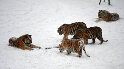 Tigri a caccia di droni / FOTO / VIDEO