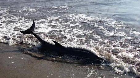 Ancora due casi (in un giorno) di delfini spiaggiati in Toscana