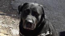 Gastone, il labrador che si è salvato dopo un volo di 90 metri in un dirupo