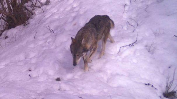 A CACCIA Il predatore filmato sulle alpi Orobie nel territorio comunale di Teglio