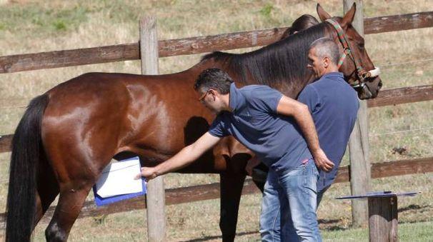 SOTTO ESAME Le visite dei cavalli per il Palio