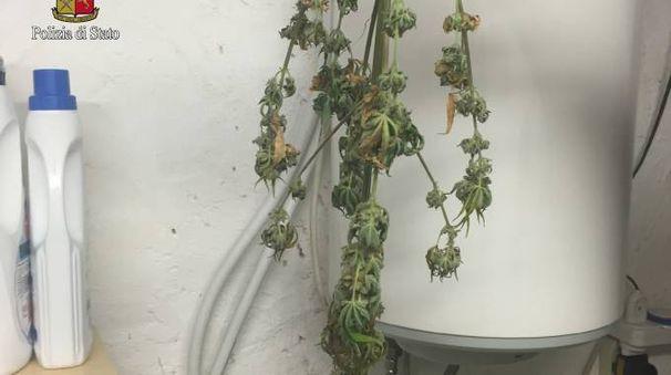 """Una parte della """"serra"""" per coltivare marijuana"""