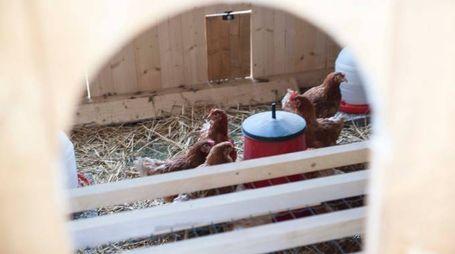 Imola, le galline del centro 'La Tartaruga' di Toscanella di Dozza