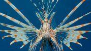 Pesce scorpione (foto Olycom)
