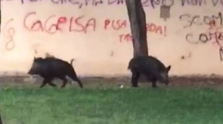 I due cinghiali ripresi in un video a Follonica