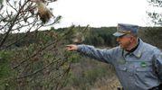 Ancona, allarme processionaria, il sindaco ordina di eliminare nidi e larve