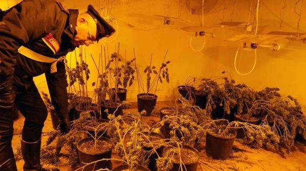 Adria, presa banda cinese specializzata nella coltivazione di marijuana (Donzelli)