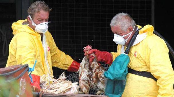 Gli allevamenti Eurovo erano già stati colpiti da una medesima infezione di aviaria nel 2013