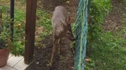 Il capriolo spuntato nel giardino di un condominio