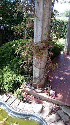 I danni: in un giardino fiori di glicine rotti (Casinina)