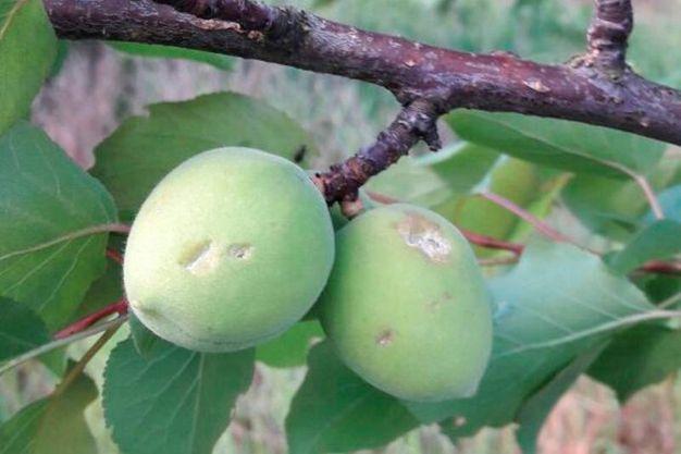 Cesena, la grandine danneggia gli alberi da frutto (foto Ravaglia)